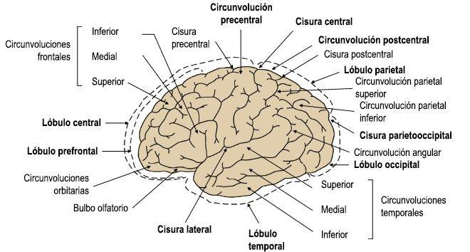 Lóbulos cerebrales, anatomía hemisferios cerebro