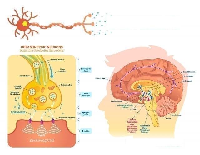 Dopamina y memoria