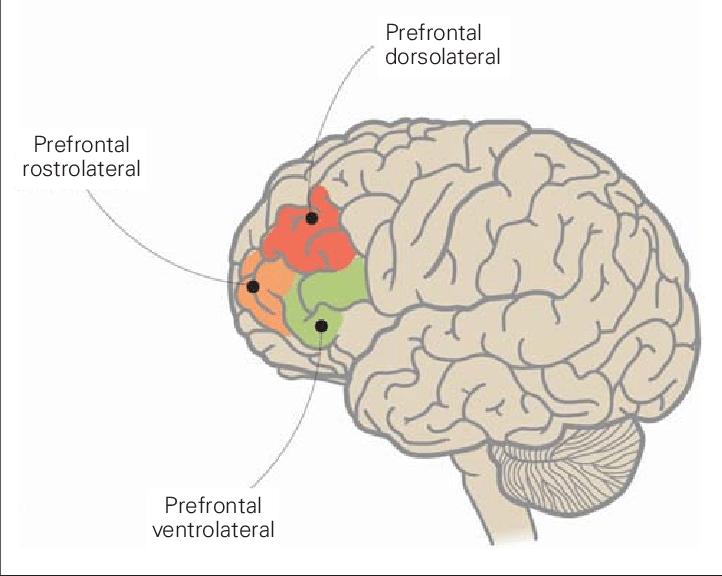 Corteza prefrontal regiones